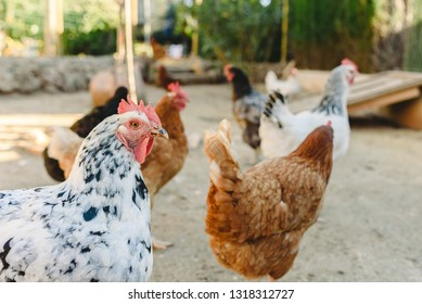 Hens pecking food in the fencing of their henhouse on a farm.
