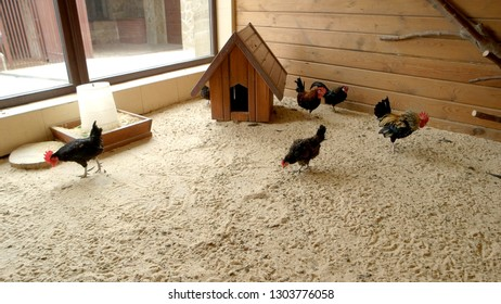 Hens and roosters in coop at modern farm. Domestic poultry walking on sand in hen house. Poultry farming concept.