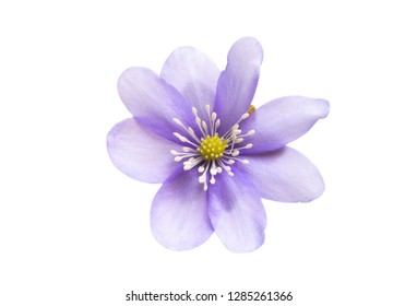 Hepatica Nobilis - first Spring Flower isolated on white background