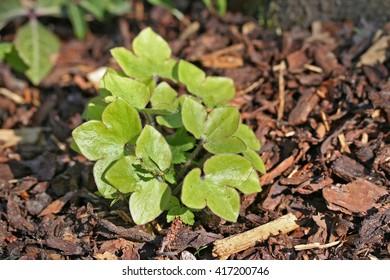 Hepatica nobilis (liverleaf or liverwort) bush closeup, early european spring