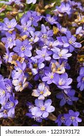 Hepatica nobilis or liverleaf or  liverwort many blue flowers vertical