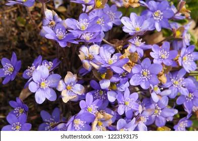Hepatica nobilis or liverleaf or  liverwort many blue flowers