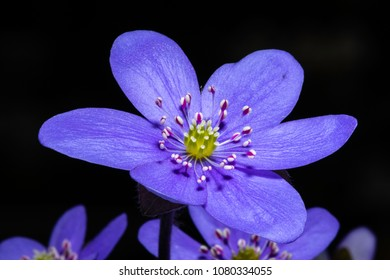 Hepatica nobilis, liverleaf, is a species of flowering plant, a herbaceous perennial in the buttercup family Ranunculaceae.