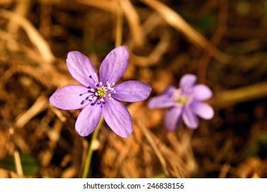 Hepatica, wild flowers in forest