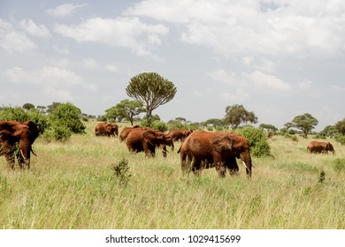 A Her of Muddy Red African Elephants in the Grasslands