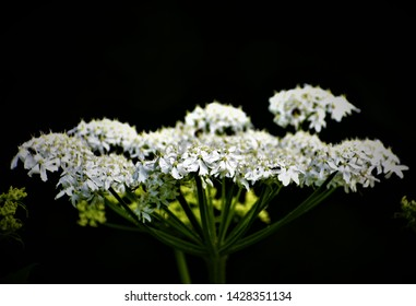 Heracleum mantegazzianum, commonly known as giant hogweed, is a monocarpic perennial herbaceous flowering plant in the family Apiaceae. cartwheel-flower, giant cow parsley, giant cow parsnip, hogsbain