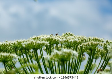 Heracleum sphondylium. Giant inflorescence of Hogweed plant against blue sky and white clouds. Bees collecting nectar from the huge blossoms of the cow parsnip.