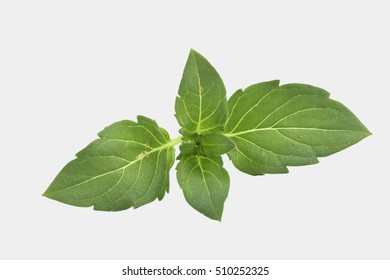 herb fresh spear mint isolated on white