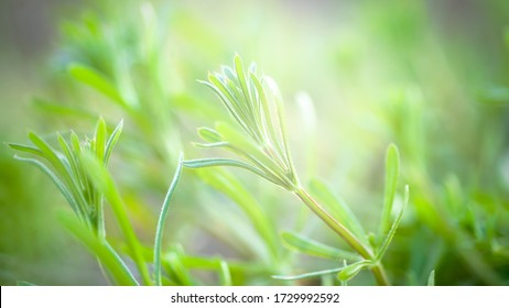 Herb Galium aparine cleavers on a summer meadow. Yellow flowers among grass sunshine. Summer natural background. Copy space.