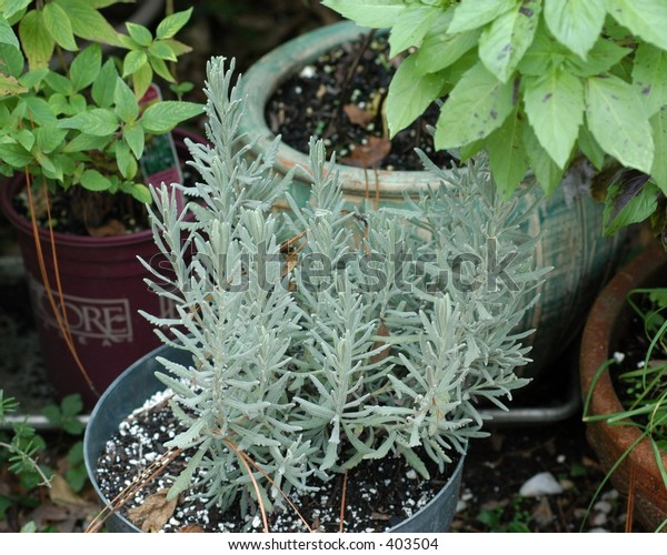 Herb Garden in pots with Rosemary, Basil and mint