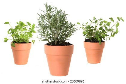 Herb Gardening With Majoram, Cilantro And Rosemary In Clay Pots On White  Background