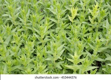 Herb of grace (Gratiola officinalis), close-up
