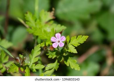 Herb Robert Flowers in Bloom in Springtime