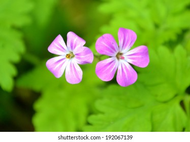Herb Robert flowers and green leaves