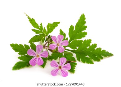 Herb Robert flowers isolated on white background