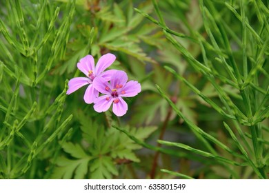 "Herb robert - Geranium robertianum. It is called ""Himefuuro"" in Japan."