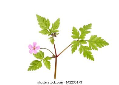 Herb Robert, Geranium robertianum, flower and foliage isolated against white