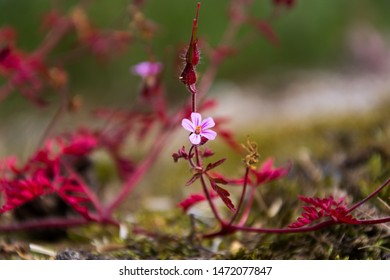 Herb Robert (Geranium Robertianum). One pink flower with red leaves at the end of the flowering season