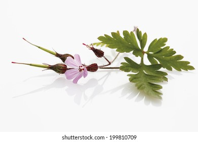Herb robert (Geranium robertianum, Robertiella robertiana)