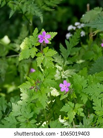 Herb Robert (Geranium robertianum) two pink radial striped 5-petal flowers, on red stalks with other flower heads and bright bushy green leaves, isolated against a darker green background