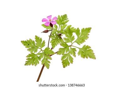 Herb Robert, Geranium robertianum, wild flower and foliage isolated against white