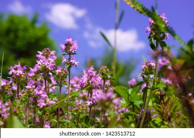 The herb Thymus serpyllum, Breckland thyme, Breckland wild thyme, creeping thyme, or elfin thyme blossoms close up. Natural medicine. Culinary ingredient and fragrant spice in habitat