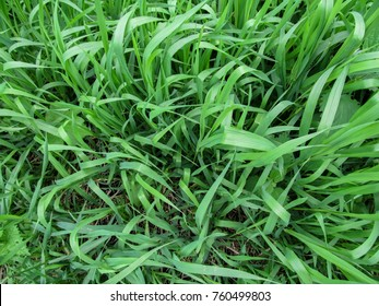 Herbaceous background of juicy high green couch grass close-up. Fresh young bright grass Elymus repens creates the effect of a beautiful herbal texture