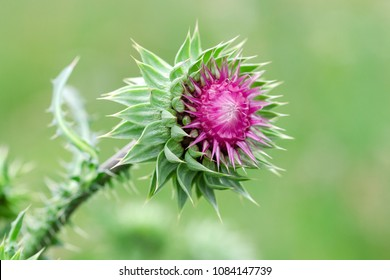 "Herbaceous Plants ""Milk Thistle"" (Silybum Marianum). Shallow Depth Of Field. Close-Up. Macro."