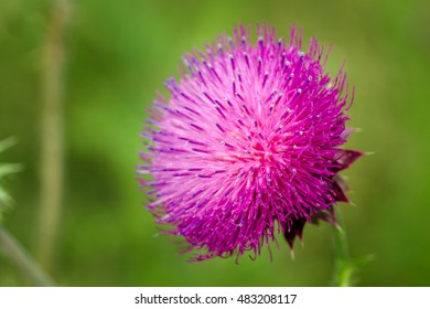 "Herbaceous Plants ""Milk Thistle"" (Silybum Marianum)."