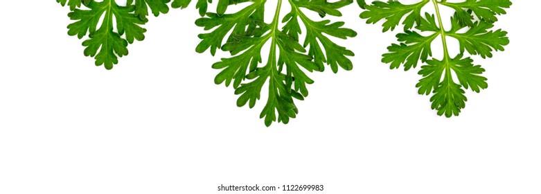 Herbal banner frame with Artemisia absinthium ( absinthe, absinthium, absinthe wormwood, wormwood ) leaves on white background