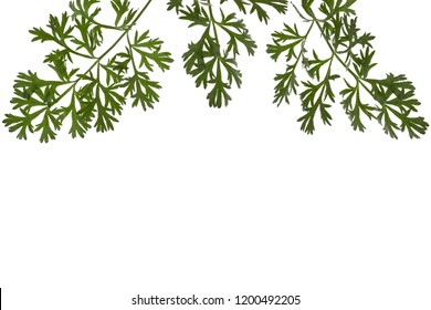 Herbal border or edging from branches of sagebrush ( absinthe, absinthium, absinthe wormwood, wormwood ) leaves, isolated on white background