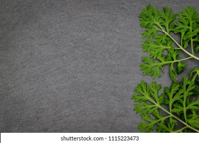 Herbal frame with Artemisia absinthium ( absinthe, absinthium, absinthe wormwood, wormwood ) leaves on dark slate background, close up