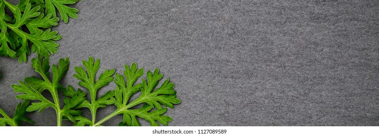Herbal frame with Artemisia absinthium ( absinthe, absinthium, absinthe wormwood, wormwood ) leaves on black slate background, close up banner