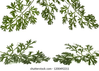 Herbal frame from branches of sagebrush ( absinthe, absinthium, absinthe wormwood, wormwood ) leaves, isolated on white background