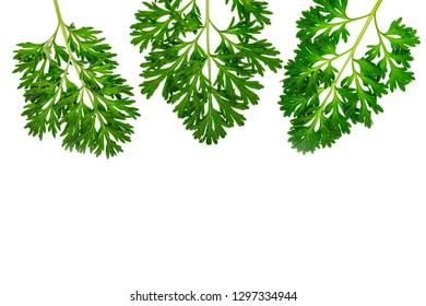 Herbal frame wirh Artemisia absinthium ( absinthe, absinthium, absinthe wormwood, wormwood ) leaves on white background, copy space