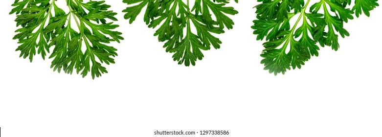 Herbal frame wirh Artemisia absinthium ( absinthe, absinthium, absinthe wormwood, wormwood ) leaves on white background, copy space banner