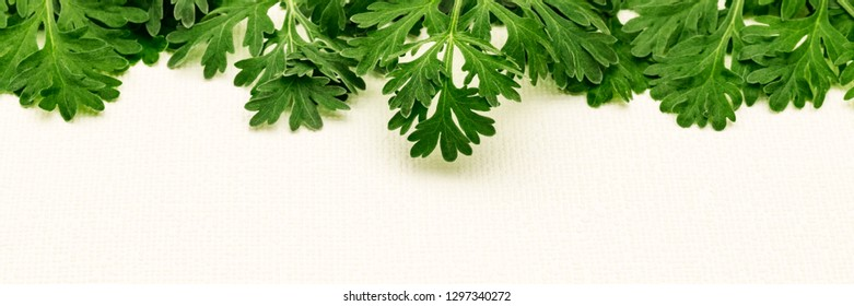 Herbal frame wirh Artemisia absinthium ( absinthe, absinthium, absinthe wormwood, wormwood ) leaves on white background, copy space, banner
