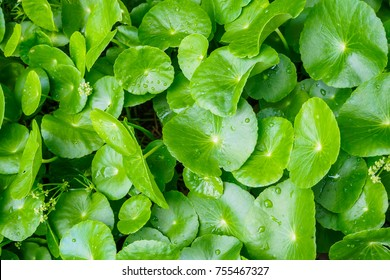Herbal medicine leaves of Centella asiatica known as gotu kola