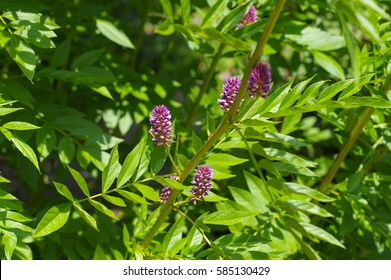 the herbal plant  Liquorice or Glycyrrhiza glabra