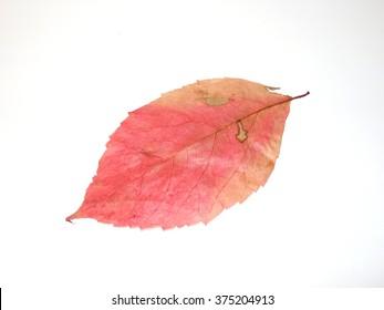 Herbarium Dry pressed pink leaf on white background