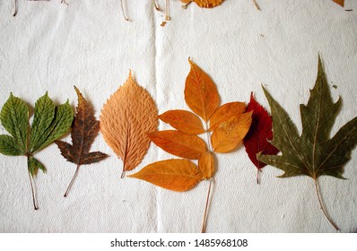 Herbarium of leaves of different tree species laid out in any order