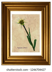Herbarium from pressed and dried flowers of meadow salsify (Tragopogon pratensis) in the frame