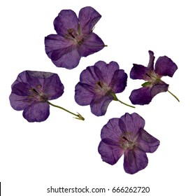 Herbarium of purple dried and pressed violet  flowers isolated. Colourful wild flowers dotted among the grass.