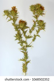 Herbarium sheet with Carlina corymbosa, the Clustered carline thistle, family Asteraceae (Compositae)