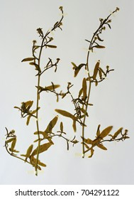 """A Herbarium sheet with Sisymbrium officinale, the Hedge mustard or """"the Singer's plant""""; from the family Brassiceae"""