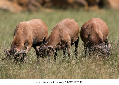 Herbivores grazing in long grass. Three herbivorous cameroon sheep (Ovis aries aries cameroon) grazing behind tall grass. Selective focus on grass.