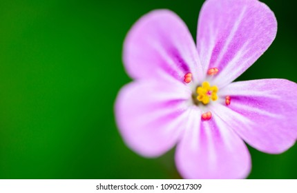 Herb-Robert, Geranium Robertianum, extreme macro on ultra violet flower head on green background. Full frame opaque backgrounds with text space on left hand side woth herb-robert on right side.