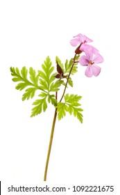 Herb-robert, Geranium robertianum, flowers and foliage isolated against white