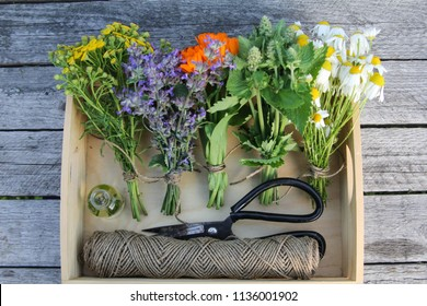 herbs are collected in bouquets, scissors