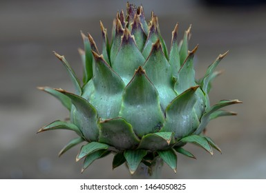 Herbs: a flower bud from cardoon plant